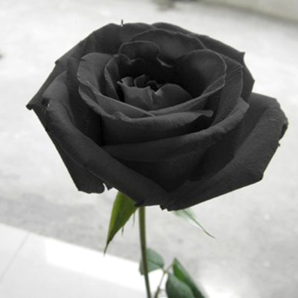 Free-Shipping-200-Black-Rose-Seeds-Long-Stem-rare-color-DIY-Home-Garden-Potted-Balcony-Yard